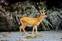 Deer, Haida Gwaii, British Columbia, Canada, Summer