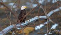 Bald Eagle, Adult, Haliaeetus leucocephalus, Wheel Line Irrigation System, Boundary Bay, Delta, British Columbia, Canada, Spring