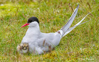 Arctic Tern and Chick