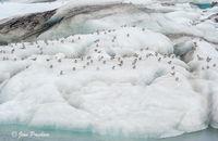Arctic Tern, Birds, Icebergs, Jökulsárlón, Glacial Lagoon, South Iceland, Summer