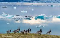Barnacle goose, geese, Jokulsarlon, glacial lagoon, Vatnajokull National Park, Breioamerkurjokull glacier, Atlantic Ocean, Iceland