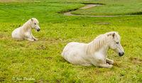 horses, Faroe Islands, summer