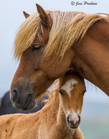 Mare, Foal, Iceland, Summer