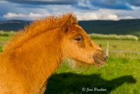 Icelandic horse, foal, Iceland, sunset, summer