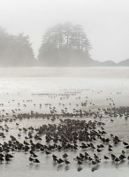 Western Sandpipers At Rest,Fog,Chesterman Beach,Tofino,Vancouver Island,British Columbia,Canada,West Coast,Pacific Ocean,Summer,Travel