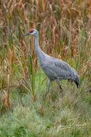 Sandhill Crane in a Marsh