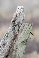 Male Short-eared Owl
