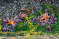 Ochre Sea Stars, Pisaster Ochracedus, Low Tide, Pacific Rim National Park Reserve, Vancouver Island, British Columbia, Canada, Pacific Ocean, Sunset, Summer