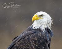 Bald Eagle, Haliaeetus leucocephalus, Boundary Bay, British Columbia, Canada, Rain, Winter