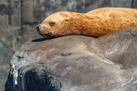 Steller Sea Lion, Eumetopias jubatus, Sunbathing, Sea Rocks, Johnstone Strait, Hope Island, Vancouver Island, British Columbia, Canada, Pacific Ocean, Summer