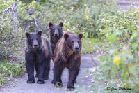 Grizzly Bear, Sow, Cubs, Claws, British Columbia, West Coast, Canada, Summer