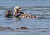Sea Otter, Enhydra Lutris, Pup, Johnstone Strait, Vancouver Island, British Columbia, Canada, Pacific Ocean, Summer