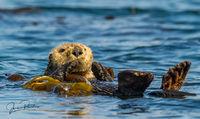 Sea Otter, Enhydra lutris, Bull Kelp, Seashore, Hope Island, Vancouver Island, British Columbia, Canada, Pacific Ocean, summer
