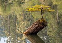 Conifer, Nurse Log, Lake, Vancouver Island, British Columbia, Canada, West Coast, Summer