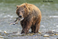 Grizzly Bear, Pink Salmon, Fishing, River, British Columbia, West Coast, Canada, Summer