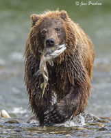 Grizzly Bear, Pink Salmon, River, Fishing, British Columbia, West Coast, Canada, Summer