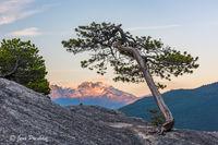 Scrub Pine , Stawamus Chief Provincial Park, Squamish, Coast Mountains, Mamquam mountain, Garibaldi Provincial Park, British Columbia, Canada, sunset, summer