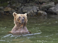 Grizzly Bear, Wading, River, Fishing, Salmon, British Columbia, Western Canada, Summer