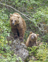 Grizzly Bear, Sow, Cub, Forest, River, British Columbia, Western Canada, Summer