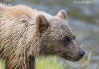 Grizzly Bear, Cub, River, Riverbank, British Columbia, Western Canada, Summer