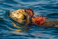 Sea Otter, Enhydra lutris, Purple Sea Urchin, Strongylocentrotus purpuratus, Johnstone Strait, Vancouver Island, British Columbia, Canada, Pacific Ocean, Summer