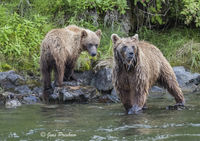 Grizzly Bear, Sow, Cub, Fishing, Salmon, Riverbank, Rocks, River, British Columbia, Western Canada, Summer