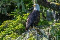 Bald Eagle, Adult, Haliaeetus leucocephalus, Tree, Moss, Hope Island, Vancouver Island, British Columbia, Canada, Pacific Ocean, Summer