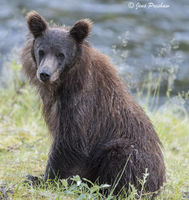 Grizzly Bear Cub, Dark Brown, Mane, Rounded Ears, Riverbank, River, British Columbia, Western Canada, Summer