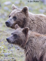 Grizzly Bear, Sow, Cub, Riverbank, River, British Columbia, Western Canada, Summer