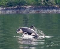 Killer Whale, Orcinus orca, Breaching, Johnstone Strait, Vancouver Island, British Columbia, Canada, Pacific Ocean, Summer
