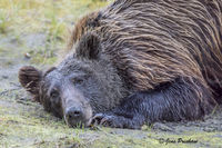 Grizzly Bear, Brown Eyes, Claws, Digging, Mud, Riverbank, River, British Columbia, Western Canada, Summer