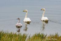 Whooper Swans, Cygnus cygnus, West Iceland, Summer