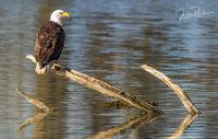 Bald Eagle, Adult, Haliaeetus leucocephalus, Alaksen National Wildlife Area, Fraser River Estuary, Delta, British Columbia, Canada, Spring