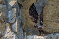 Bald Eagle, Haliaeetus leucocephalus, Gwaii Haanas National Park Reserve, Haida Gwaii, British Columbia, Hecate Strait, Pacific Ocean, Canada, Summer