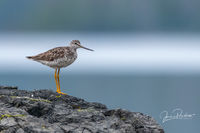 Greater Yellowlegs, Tringa melanoleuca, Gwaii Haanas National Park Reserve, Haida Gwaii, British Columbia, Canada, Pacific Ocean, Summer