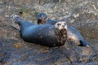 Harbour Seal, Phoca vitulina, Pup, Haulout, Low Tide, Gwaii Haanas National Park Reserve, Haida Gwaii, British Columbia, Hecate Strait, Pacific Ocean, Canada, Summer