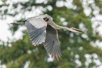 Heron Flying In The Rain