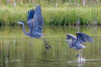 Pacific Great Blue Heron, Ardea herodias fannini, Marsh, British Columbia, Canada, Summer