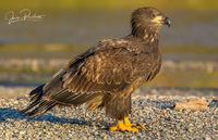 Bald Eagle, Juvenile, Haliaeetus leucocephalus, Nicomen Slough, British Columbia, Canada, Fall