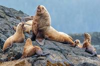 Steller Sea Lions, Eumetopias jubatus, Male, Pup, Haulout, Gwaii Haanas National Park Reserve, Haida Gwaii, British Columbia, Hecate Strait, Pacific Ocean, Canada, Summer