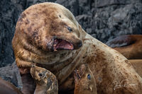 Stella Sea Lion, Male, Eumetopias jubatus, Rookery, Gwaii Haanas National Park Reserve, Haida Gwaii, British Columbia, Hecate Strait, Pacific Ocean, Canada, Summer