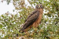 Northern Harrier, Female, Juvenile, Circus hudsonius, Marsh, British Columbia, Canada, Summer