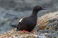 Pigeon Guillemot, Cepphus columba, Gwaii Haanas National Park Reserve, Haida Gwaii, British Columbia, Hecate Strait, Pacific Ocean, Canada, Summer