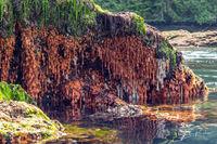 Giant Plumose Anemone, Metridium giganteum, Low Tide, Gwaii Haanas National Park Reserve, Haida Gwaii, British Columbia, Hecate Strait, Pacific Ocean, Canada, Summer