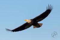 Bald Eagle Wingtip Feathers