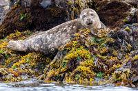 Harbour Seal, Phoca vitulina, Rockweed, Gwaii Haanas National Park Reserve, Haida Gwaii, British Columbia, Pacific Ocean, Hecate Strait, Canada, Summer