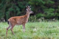Sitka black-tailed deer, Odocoileus hemionus sitkensis, Gwaii Haanas National Park Reserve, Haida Gwaii, British Columbia, Hecate Strait, Pacific Ocean, Canada, Summer