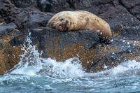 Steller Sea Lion, Eumetopias jubatus, Haulout, Wave, Gwaii Haanas National Park Reserve, Haida Gwaii, British Columbia, Pacific Ocean, Canada, Summer