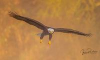 Bald Eagle, Adult, Haliaeetus leucocephalus, Talons, Nicomen Slough, British Columbia, Canada, Fall