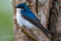 Tree Swallow, Tachycineta bicolor, Male, British Columbia, Canada, Spring